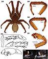 Aptostichus fornax anatomy.jpg