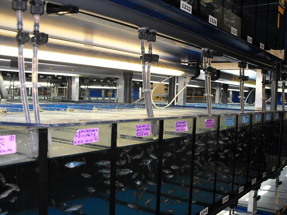 Aquarias Danio rerio-science institute 01