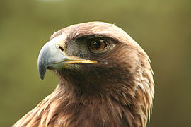 Aquila chrysaetos portrait.jpg