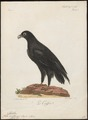 Aquila vulturina - 1796-1808 - Print - Iconographia Zoologica - Special Collections University of Amsterdam - UBA01 IZ18100207.tif