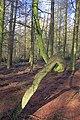 Arboreal Oddity, Oak House Plantation - geograph.org.uk - 1700273.jpg