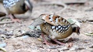 File:Arborophila brunneopectus pair feeding - Kaeng Krachan.ogv