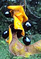 Archidendron bigeminum 12.JPG