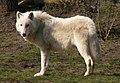 Arctic Wolf Berlin Zoo.jpg