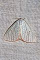 Arctornis egerina (Lymantriidae- Arctorninae) (5695952042).jpg