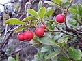 Arctostaphylos uva-ursi (5192873642).jpg