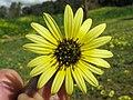 Arctotheca calendula flowerhead12 (11767406513).jpg