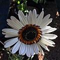 Arctotis fastuosa - Cape Daisy IMG-6678.jpg