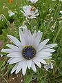 Arctotis grandis 'Blue-eyed African daisy' (Compositae) flower.JPG