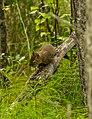 Ardilla roja americana (Tamiasciurus hudsonicus), Palmer, Alaska, Estados Unidos, 2017-08-22, DD 27.jpg
