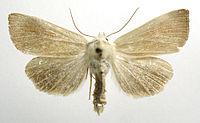 Arenostola phragmitidis.jpg