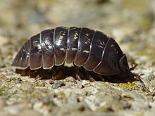 220px Armadillidium vulgare 001 Rolly pollies