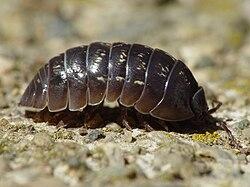 definition of armadillidiidae