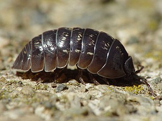 Isopoda - Armadillidium vulgare on the move ...