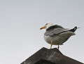 Armenian Gull standing on roof of Sevanavank.jpg