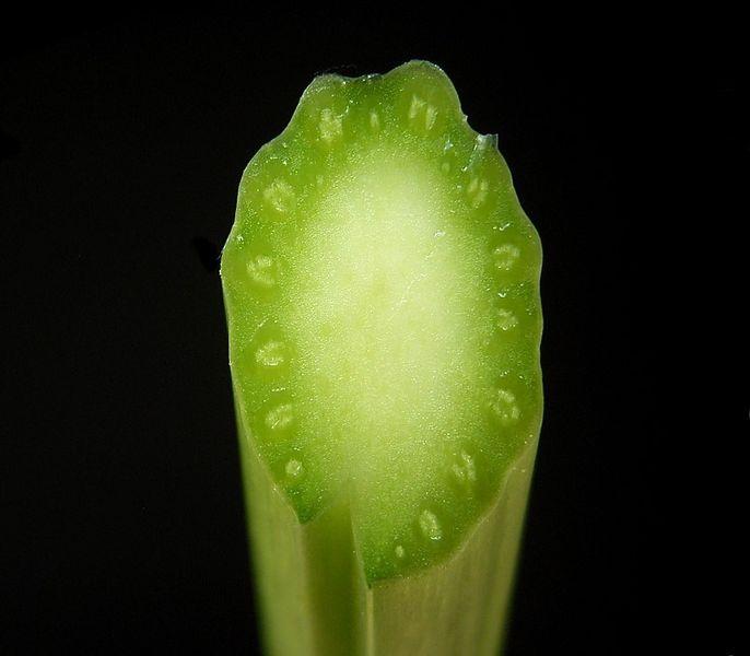 Cievne zväzky po obvode stonky byliny