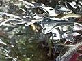 Artemisia tridentata spiciformis (9579108528).jpg
