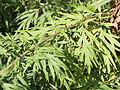 Artemisia vulgaris SCA-6367.jpg