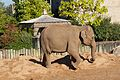Asian Elephant at Chester Zoo 2.jpg