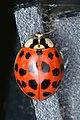 Asian Lady Beetle (Harmonia axyridis) - MacGregor Point Provincial Park.jpg