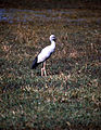 Asian Open-bill Stork (Anastomus oscitans) (20236985779).jpg
