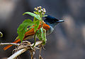 Asian Paradise Flycatcher (Female) by N.A. Nazeer.jpg