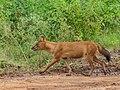 Asiatic Wild Dog (42428483930).jpg
