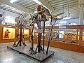 Asiatic elephant (Elephas maximus) skeleton DSCN2350.jpg