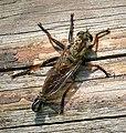 Asilidae Robberfly (44062791614).jpg