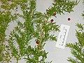 Asparagus aethiopicus 'Sprengeri' L. (AM AK289644).jpg