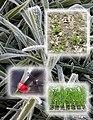 Assessment of barley frost tolerance.jpg