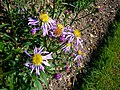 Aster foliaceus var. parryi 2007-06-02 (flower).jpg