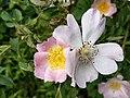 Aston Rowant - Dog Rose.jpg