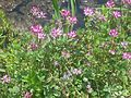 Astragalus sinicus 3.JPG