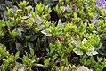 Aucuba japonica Emily Rose 1zz.jpg