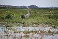 Australian pelican, by Jon Connell.jpg