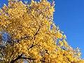 Autumn Gold (24408718045).jpg