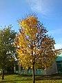 Autumn Light On A Tree Oct 28 2014 (88279617).jpeg