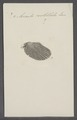 Avicula costellata - - Print - Iconographia Zoologica - Special Collections University of Amsterdam - UBAINV0274 075 10 0009.tif