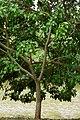 Búcaro (Erythrina fusca) (14530389216).jpg