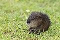 Baby muskrat (14455520425).jpg