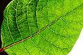 Backlit green poinsettia leaf.jpg