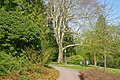 Badenweiler - Kurpark Morgenländische Plantane (43) Bild 4.jpg