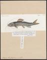 Bagrus bayad - 1700-1880 - Print - Iconographia Zoologica - Special Collections University of Amsterdam - UBA01 IZ14600059.tif