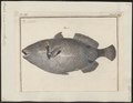 Balistes cinereus - 1700-1880 - Print - Iconographia Zoologica - Special Collections University of Amsterdam - UBA01 IZ15400101.tif