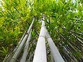 Bambusa chungii upview in Hong Kong.jpg