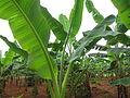Banana - വാഴ-2.JPG