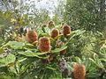 Banksia, Proteacea.jpg