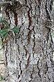 Banksia ilicifolia bark.jpg