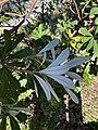 Banksia integrifolia 120165342.jpg